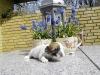 Tæve - 2 uger - hvalpe april 2010 Coton de Tulear
