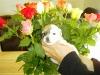Daisy - Tæve - 3 uger - april 2010 Coton de Tulear