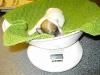 Tæve - 1 uge - hvalpe april 2010 Coton de Tulear