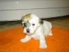Daisy - Tæve - 4 uger - april 2010 Coton de Tulear