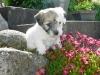 Daisy - Tæve - 5 uger - april 2010 Coton de Tulear