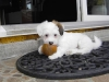 Hvalpe - 7 uger - april 2010 Coton de Tulear